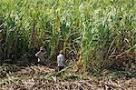 Harvesting sugar cane by hand, Valle de los Ingenios, Trinidad, Cuba, West Indies, Central America