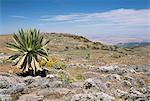 A single giant lobelia, Bale Mountains, Southern Highlands, Ethiopia, Africa Stock Photo - Premium Rights-Managed, Artist: Robert Harding Images, Code: 841-02915844