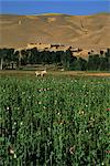 Poppy field between Daulitiar and Chakhcharan, Afghanistan, Asia Stock Photo - Premium Rights-Managed, Artist: Robert Harding Images, Code: 841-02916634