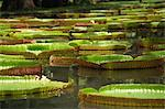 Giant water lilies, Botanical Gardens, Pamplemousses, Mauritius, Africa Stock Photo - Premium Rights-Managed, Artist: Robert Harding Images, Code: 841-02919121
