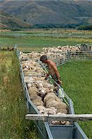 Sheep drenching, central Otago, South Island, New Zealand, Pacific Stock Photo - Premium Rights-Managednull, Code: 841-02921131