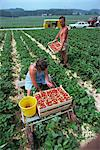 Man and woman picking strawberries Stock Photo - Premium Rights-Managed, Artist: Robert Harding Images, Code: 841-02923939