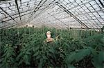 Spraying tomato plants in a hothouse of Pursey Sovchose, a state farm, Bratsk, Siberia, Russia, Europe