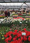 Displays of tulips, Keukenhof, park and gardens near Amsterdam, Netherlands, Europe