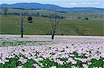 Fields of flowering opium poppies grown legally for morphine production, Tasmania, Australia, Pacific Stock Photo - Premium Rights-Managed, Artist: Robert Harding Images, Code: 841-02925426