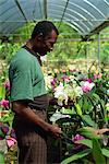 Supervisor tending orchids for export, Golden Orchid Nursery, Laboule, Haiti, West Indies, Central America