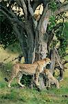 Cheetah cubs (Acinonyx jubatus) eight months old, playing in tree, Masai Mara National Reserve, Kenya, East Africa, AFrica Stock Photo - Premium Rights-Managed, Artist: Robert Harding Images, Code: 841-02925545