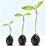 Three Sprouting Acorns in Various Stages of Growth                                                                                                                                                       Stock Photo - Premium Rights-Managed, Artist: Andrew Kolb              , Code: 700-02935837