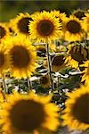 Field of Sunflowers                                                                                                                                                                                      Stock Photo - Premium Rights-Managed, Artist: Siephoto                 , Code: 700-02943243
