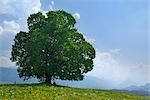 Lime Tree in Field, Ofterschwang, Allgaeu, Bavaria, Germany Stock Photo - Premium Royalty-Free, Artist: Raimund Linke            , Code: 600-02943373
