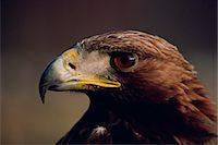 Portrait of a golden eagle, Highlands, Scotland, United Kingdom, Europe                                                                                                                                  Stock Photo - Premium Rights-Managednull, Code: 841-02944082