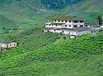 Tea plantations, Cameron Highlands, Malaysia, Asia