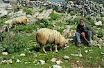 Shepherd with his sheep on Naxos, Cyclades Islands, Greek Islands, Greece, Europe                                                                                                                        Stock Photo - Premium Rights-Managed, Artist: Robert Harding Images, Code: 841-02945584