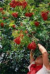 Picking roan tree berries in Norway, Scandinavia, Europe                                                                                                                                                 Stock Photo - Premium Rights-Managed, Artist: Robert Harding Images, Code: 841-02945932