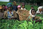 Picking tea on a plantation, Bonga forest, Ethiopia, Africa                                                                                                                                              Stock Photo - Premium Rights-Managed, Artist: Robert Harding Images, Code: 841-02946132