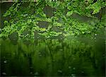 Beech leaves over lake, Waggoners Wells, Grayshot, Surrey, England, United Kingdom, Europe                                                                                                               Stock Photo - Premium Rights-Managed, Artist: Robert Harding Images, Code: 841-02946367
