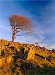 Bare tree on stony outcrop, Parwich, Hartington, Peak District National Park, Derbyshire, England, United Kingdom, Europe                                                                                Stock Photo - Premium Rights-Managed, Artist: Robert Harding Images, Code: 841-02946411