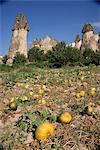 Pumpkins and melons in Pashas vineyard, at Zelve in Cappadocia, Anatolia, Turkey, Asia Minor, Eurasia                                                                                                    Stock Photo - Premium Rights-Managed, Artist: Robert Harding Images, Code: 841-02946450