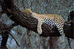 Close-up of a single leopard ( Panthera pardus ), asleep in a tree, Kruger National Park, South Africa, Africa                                                                                           Stock Photo - Premium Rights-Managed, Artist: Robert Harding Images, Code: 841-02946693