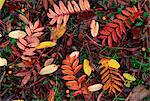 Overhead view of fallen rowan leaves in autumn (fall) colours, red and gold                                                                                                                              Stock Photo - Premium Rights-Managed, Artist: Robert Harding Images, Code: 841-02946738