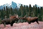 Bull and cow Moose standing in a clearing in Spruce forest, touching their noses together at Denali National Park. Fall in Interior Alaska.                                                              Stock Photo - Premium Rights-Managed, Artist: AlaskaStock              , Code: 854-02955307