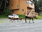Mother moose leads twin calves through yard while residents photograph from deck Girdwood SC Alaska                                                                                                      Stock Photo - Premium Rights-Managed, Artist: AlaskaStock              , Code: 854-02955310