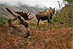 Bull and cow moose on the Anchorage hillside fall                                                                                                                                                        Stock Photo - Premium Rights-Managed, Artist: AlaskaStock              , Code: 854-02955312