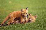 Red fox kits playing together on golf course on Elmendorf Airforce Base Anchorage Alaska Summer Stock Photo - Premium Rights-Managed, Artist: AlaskaStock              , Code: 854-02955339