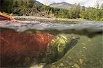 Spawned out Sockeye Salmon in Quartz Creek Kenai Peninsula Alaska Summer Underwater image                                                                                                                Stock Photo - Premium Rights-Managed, Artist: AlaskaStock              , Code: 854-02955393