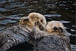 CAPTIVE Two Sea Otters holding paws at Vancouver Aquarium in Vancouver, British Columbia Canada CAPTIVE                                                                                                  Stock Photo - Premium Rights-Managed, Artist: AlaskaStock              , Code: 854-02955400