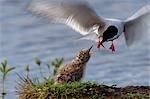 Arctic Tern feeding its chick on its nest at Potter Marsh in Southcentral Alaska.                                                                                                                        Stock Photo - Premium Rights-Managed, Artist: AlaskaStock              , Code: 854-02955458
