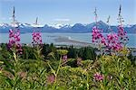 View of Homer Spit and Kachemak Bay with Fireweed in the foreground near Homer, Alaska in the Summer                                                                                                     Stock Photo - Premium Rights-Managed, Artist: AlaskaStock              , Code: 854-02955984