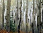 Foggy Aspen Forest near Ester Interior AK Autumn                                                                                                                                                         Stock Photo - Premium Rights-Managed, Artist: AlaskaStock              , Code: 854-02956053