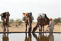 rajasthan camel - Camels Drinking Water, Thar Desert, Rajasthan, India                                                                                                                                                     Stock Photo - Premium Rights-Managednull, Code: 700-02958000