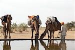 Camels Drinking Water, Thar Desert, Rajasthan, India                                                                                                                                                     Stock Photo - Premium Rights-Managed, Artist: Sarah Murray             , Code: 700-02958000