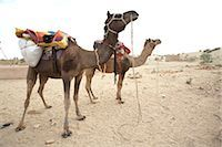 rajasthan camel - Camels, Thar Desert, Rajasthan, India                                                                                                                                                                    Stock Photo - Premium Rights-Managednull, Code: 700-02958008