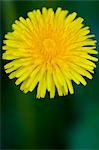 Close up of a yellow dandelion flower - Taraxacum                                                                                                                                                        Stock Photo - Premium Rights-Managed, Artist: ableimages               , Code: 822-02958353
