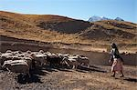 Amaryan woman herding sheep,Cordillera Real,Bolivia                                                                                                                                                      Stock Photo - Premium Rights-Managed, Artist: Axiom Photographic       , Code: 851-02958848