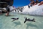 Penguins swimming around tourists,Boulders Beach,Cape peninsula,South Africa                                                                                                                             Stock Photo - Premium Rights-Managed, Artist: Axiom Photographic       , Code: 851-02962613