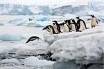 Gentoo Penguins Diving into Water, Antarctica                                                                                                                                                            Stock Photo - Premium Rights-Managed, Artist: Jamie Scarrow            , Code: 700-02967493