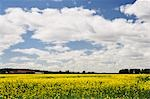 Canola Field, Varmland, Sweden Stock Photo - Premium Rights-Managed, Artist: Jochen Schlenker         , Code: 700-02967777