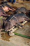 Pig market, Rantepao, Toraja area, Sulawesi, Indonesia, Southeast Asia, Asia                                                                                                                             Stock Photo - Premium Rights-Managed, Artist: Robert Harding Images, Code: 841-02991679