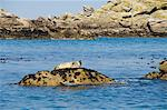 Seals, Eastern Rocks, Isles of Scilly, off Cornwall, United Kingdom, Europe                                                                                                                              Stock Photo - Premium Rights-Managed, Artist: Robert Harding Images, Code: 841-02994453