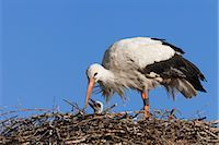 White Stork with Young in Nest Stock Photo - Premium Rights-Managednull, Code: 700-03003497
