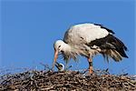 White Stork with Young in Nest Stock Photo - Premium Rights-Managed, Artist: Christina Krutz          , Code: 700-03003497