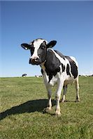 Portrait of Cow Stock Photo - Premium Rights-Managednull, Code: 700-03003581