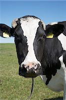 Portrait of Cow Stock Photo - Premium Rights-Managednull, Code: 700-03003583