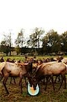 Elk Eating From Trough Stock Photo - Premium Rights-Managed, Artist: John Cullen              , Code: 700-03003898