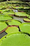 Giant Amazon Water Lilies, Sir Seewoosagur Ramgoolam Botanical Gardens, Mauritius Stock Photo - Premium Royalty-Free, Artist: Arian Camilleri          , Code: 600-03004988