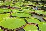 Giant Amazon Water Lilies, Sir Seewoosagur Ramgoolam Botanical Gardens, Mauritius Stock Photo - Premium Royalty-Free, Artist: Arian Camilleri          , Code: 600-03004989